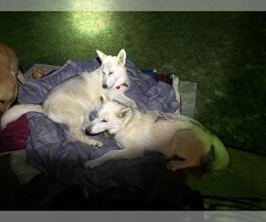 Wolf Hybrid Puppy for Sale in THURMOND, North Carolina USA