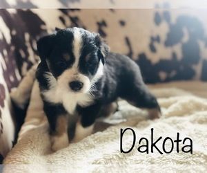 Miniature Australian Shepherd Puppy for Sale in STOCKTON, Illinois USA