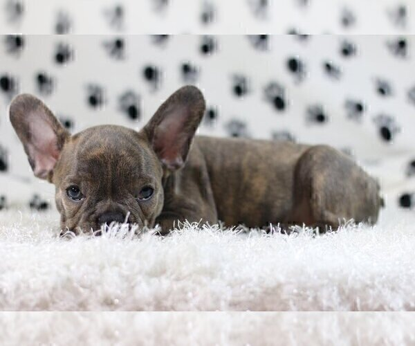 Full screen Photo #2 French Bulldog Puppy For Sale in HOUSTON, TX, USA
