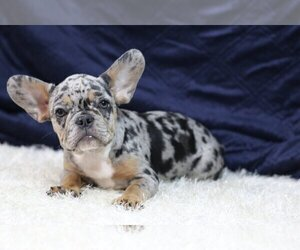French Bulldog Puppy for sale in GALENA, NV, USA