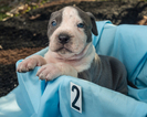American Pit Bull Terrier Puppy For Sale in MALVERN, AR, USA