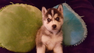 Siberian Husky Puppy For Sale in STOCKTON, CA