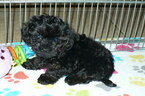Poodle (Toy)-Yorkshire Terrier Mix Puppy For Sale in ORO VALLEY, AZ, USA