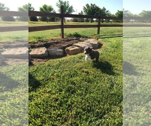 Border Collie Puppy for sale in DALHART, TX, USA