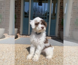 Portuguese Water Dog Puppy for Sale in RICHMOND, Virginia USA