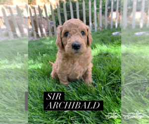Labradoodle Puppy for sale in ALBUQUERQUE, NM, USA