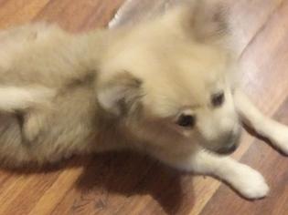 Pomeranian Puppy for sale in CORYDON, IN, USA