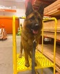 German Shepherd Dog Puppy For Sale in BURLINGTON, CT, USA