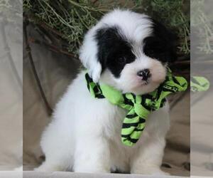 Maltipoo Puppy for sale in ORO VALLEY, AZ, USA