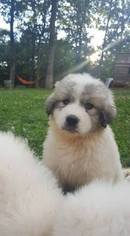 Great Pyrenees Puppy For Sale in HILLSBORO, MO, USA