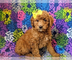 Double Doodle Puppy for sale in NOTTINGHAM, PA, USA