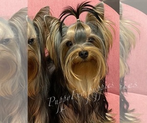 Yorkshire Terrier Dog for Adoption in Kyiv, Kyiv City Ukraine