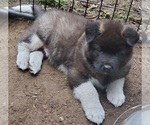 Small Photo #2 Akita Puppy For Sale in LAKEBAY, WA, USA