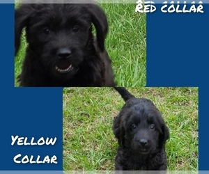 Labradoodle-Labrador Retriever Mix Puppy for Sale in JACKSON, Minnesota USA