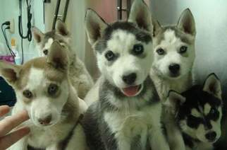 Siberian Husky Puppy For Sale in RINGGOLD, GA
