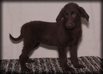 Labradoodle Puppy For Sale in WAYLAND, IA, USA