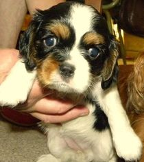 Cavalier King Charles Spaniel Puppy For Sale in SANDSTONE, MN