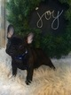 French Bulldog Puppy For Sale in DUNDEE, OH