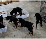 Small #42 Rottweiler