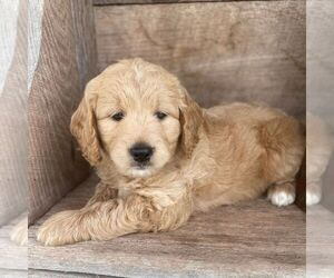 Goldendoodle-Poodle (Miniature) Mix Puppy for sale in MOHNTON, PA, USA
