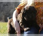 Puppy 8 Newfoundland