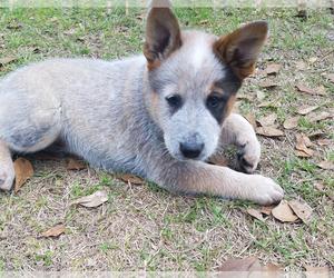 Australian Cattle Dog Puppy for sale in BLACK CREEK, GA, USA