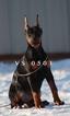 Doberman Pinscher Puppy For Sale in MURRIETA, California,