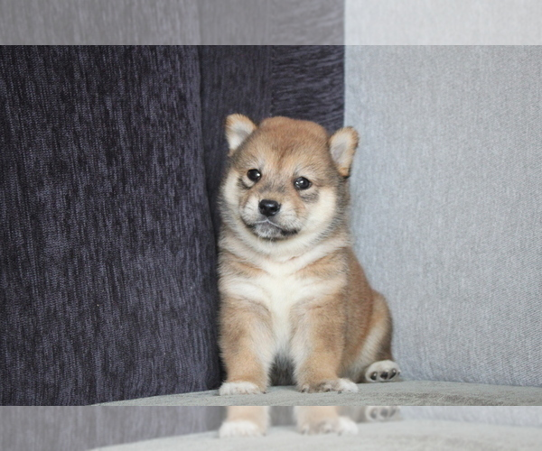Medium Photo #6 Shiba Inu Puppy For Sale in MIAMI, FL, USA