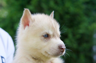 Siberian Husky Puppy For Sale in RIVERSIDE, RI, USA