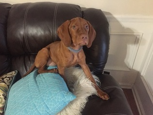 Vizsla Puppy For Sale in CALHOUN, GA