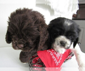 Cocker Spaniel Puppy for sale in FORT WAYNE, IN, USA