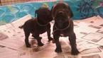 Great Dane Puppy For Sale in ADRIAN, MI