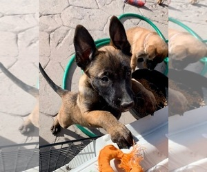 Belgian Malinois Puppy for sale in BLACKFOOT, ID, USA