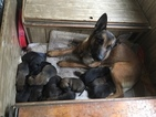 Belgian Malinois Puppy For Sale in BLACK ROCK, AR, USA