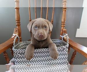Labrador Retriever Puppy for sale in DETROIT, MI, USA