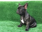 French Bulldog Puppy For Sale in FALLON, NV