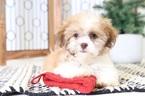 Miles Male Teddy Bear Puppy