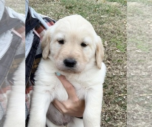 Goldendoodle-Labrador Retriever Mix Puppy for sale in LOOMIS, CA, USA
