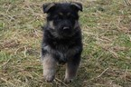 German Shepherd Dog Puppy For Sale in EVANS, WA