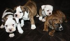 English Bulldog Puppy For Sale in LAKESIDE, CA, USA