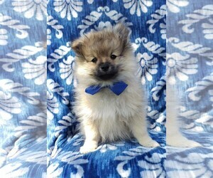 Pomeranian Puppy for Sale in LANCASTER, Pennsylvania USA