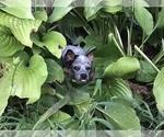 Small #3 Australian Cattle Dog