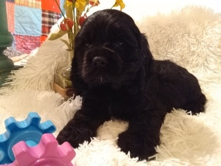 Cocker Spaniel Puppy For Sale in PETERSBURG, IN, USA