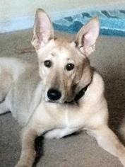 German Shepherd Dog-Unknown Mix Dog For Adoption in PAINESVILLE, OH, USA