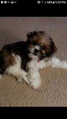 Shorkie Tzu Puppy For Sale in SAINT MARYS, WV