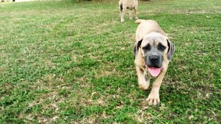 Cane Corso Puppy For Sale in BULVERDE, TX