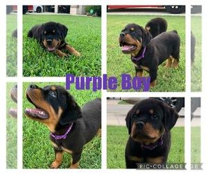 Rottweiler Dog for Adoption in SAN ANTONIO, Texas USA