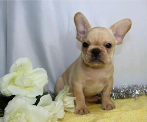 French Bulldog Puppy for sale in FREDERICKSBG, OH, USA