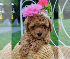 Maltipoo Puppy for sale in EASTON, PA, USA