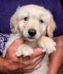 Golden Retriever-Poodle (Miniature) Mix Puppy For Sale in FREDERICK, MD, USA